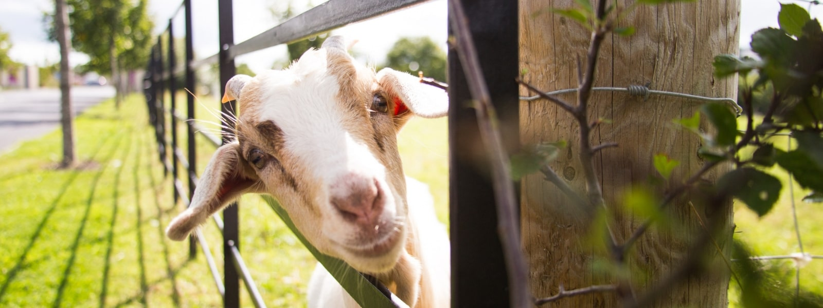https://www.airfield.ie/wp-content/uploads/2019/01/Billy-The-Goat-at-Airfield-Estate-min.jpg