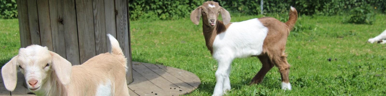 https://www.airfield.ie/wp-content/uploads/2019/02/Baby-Goats-at-Airfield-Estate-min.jpg