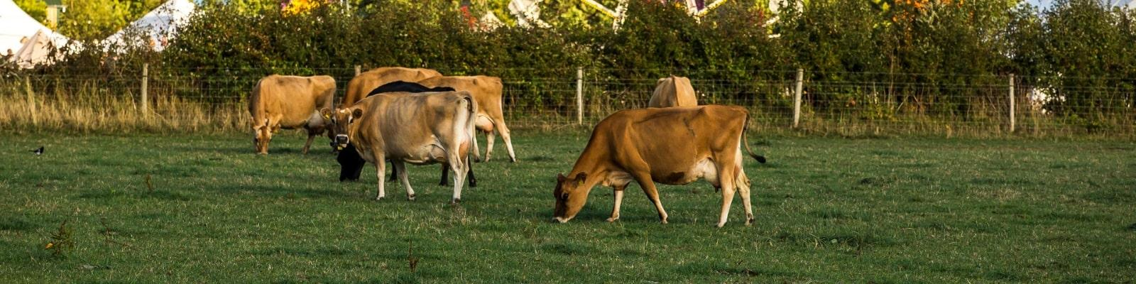 https://www.airfield.ie/wp-content/uploads/2019/02/Jersey-Cows-Grazing-at-Airfield-Estate-min.jpg