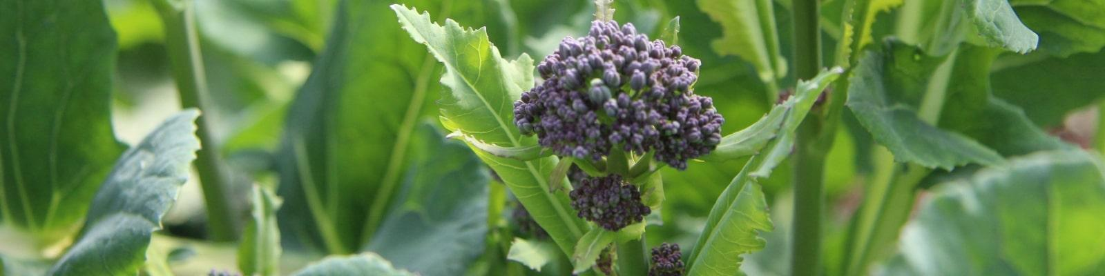 https://www.airfield.ie/wp-content/uploads/2019/02/Purple-Sprouting-Broccoli-at-Airfield-Estate-min.jpg