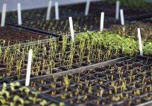 Seeds Sprouting in the Organic gardens in Airfield