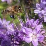 https://www.airfield.ie/wp-content/uploads/2019/07/Bee-at-pollen-in-Airfield-Estate-min.jpg