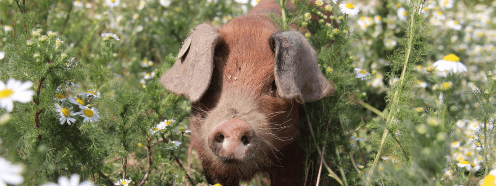 https://www.airfield.ie/wp-content/uploads/2020/11/Sandy-Black-Pigs-in-Airfield-Farm-1.png