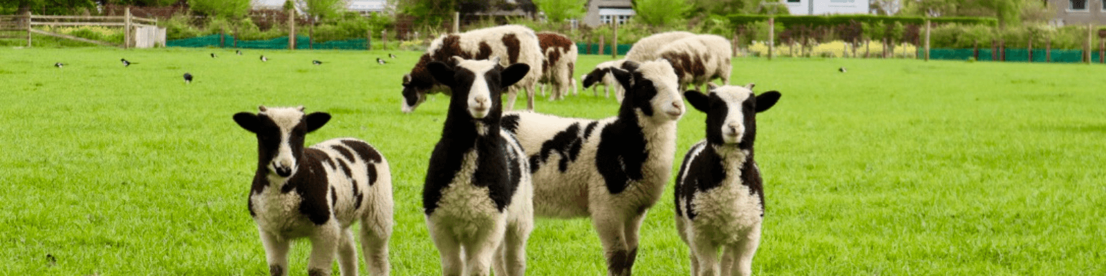 https://www.airfield.ie/wp-content/uploads/2021/03/Jacob-Lambs-at-Airfield-Estate-1.png