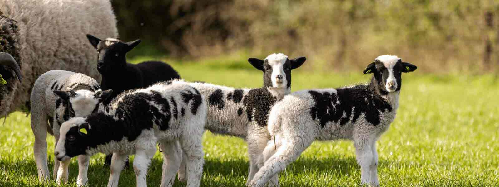 https://www.airfield.ie/wp-content/uploads/2021/05/Jacob-Lambs-at-Airfield-Estate-1-2.jpg
