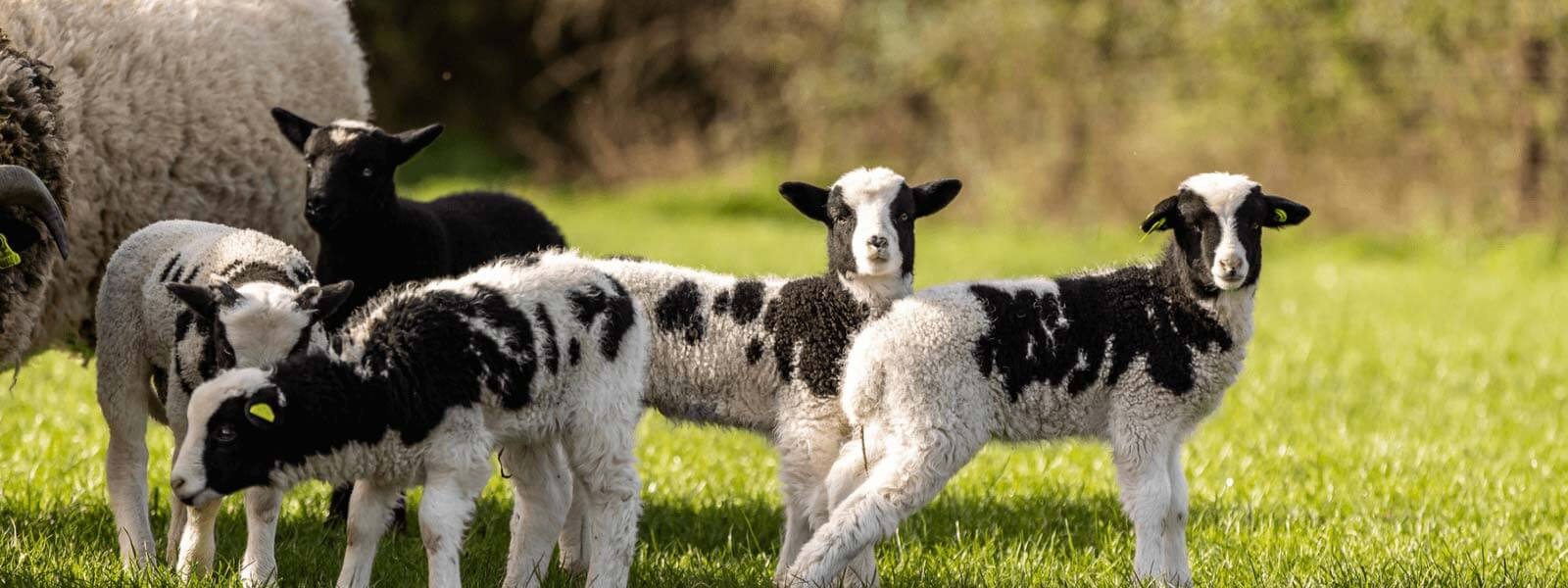 https://www.airfield.ie/wp-content/uploads/2021/05/Jacob-Lambs-at-Airfield-Estate-1.png